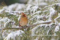 01530-22911 Northern Cardinal (Cardinalis cardinalis) female in pine tree in winter snow Marion Co. IL