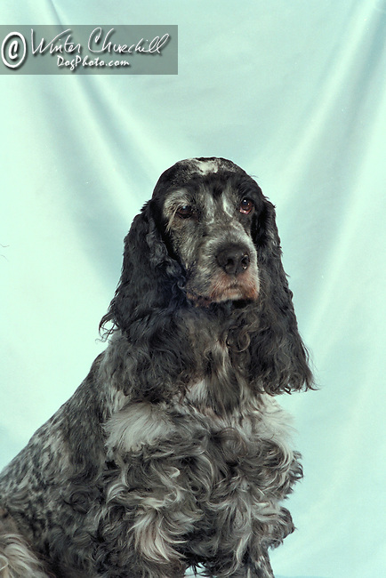 ENGLISH COCKER SPANIEL<br />