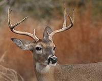 Eight point Texas whitetail buck.