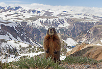 This marmot was very curious and approached my camera lens several times.  The Beartooth Wilderness makes for a spectacular backdrop.