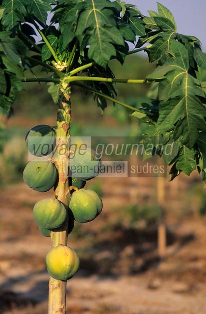 Afrique/Afrique de l'Ouest/Sénégal/Parc National de Basse-Casamance/Mlomp : Papayer