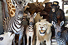 The Metropolitan Police have advised that a burglar who stole stuffed animals worth thousands of pounds has been sentenced 5th April 2017. <br /> Wimbledon, London, Great Britain <br /> <br /> The items stolen included stuffed lions, zebra and a chimpanzee in a top hat.<br /> Jason Robert Hopwood, 47 (07.11.1969) of Drummond Road, Romford, Essex was sentenced to 21 months' imprisonment, suspended for two years, at Kingston Crown Court on Tuesday, 4 April 2017 <br /> <br /> He was also ordered to work 200 hours' community service.<br /> He had pleaded guilty at an earlier hearing to burglary and fraudulent use of a registration plate.<br /> The court heard how on 1 March 2016, at around 19:30hrs, a burglary took place at a warehouse at the Wimbledon Stadium Business Centre, London, SW17.<br /> The thieves arrived in a van and used angle grinders to force their way into the premises.<br /> They then made off with antiques and 18 stuffed animals. The value of the items stolen was around &pound;100,000.<br /> Following a nationwide press appeal, an anonymous call was made to Crimestoppers. On 22 March 2016, Essex Police acting on the anonymous information, found the abandoned van in the Stapleford Abbots area in Essex<br /> It was noted that the van had sticky patches on the plates where false plates were believed to have been attached; the van contained all of the stolen animals.<br /> Jason Hopgood was identified as the owner of the van.<br /> He was questioned and stated that he had sold the van to someone and knew nothing of any burglary.<br /> However in the van the police had found a parking ticket issued on the day of the burglary. It was issued outside Hopwood's home address to the fake number plate.<br /> Also by phone and Automatic Number Plate Reader (ANPR) analysis, it was established that Hopwood had driven the van down to the scene of the burglary the day before the crime.<br /> It was also established that he had driven the van to the scene again on the day of the burglary, this time using the fake plates.<br /> Hopwood was arrested on 29 September 2016 and admitted