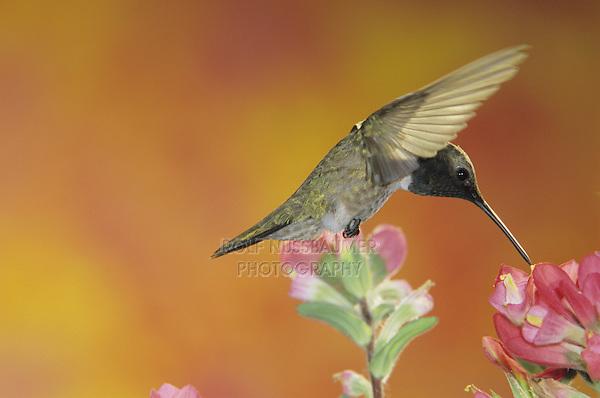 Black-chinned Hummingbird, Archilochus alexandri, male feeding on Indian Paintbrush (Castilleja coccinea) , Welder Wildlife Refuge, Sinton, Texas, USA, May 2005