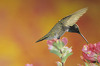 Black-chinned Hummingbird, Archilochus alexandri, male feeding on Indian Paintbrush (Castilleja coccinea) , Welder Wildlife Refuge, Sinton, Texas, USA, May 2005