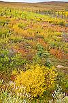 Colorful fall colored tundra along the Dalton Hwy, Arctic Alaska, Autumn.
