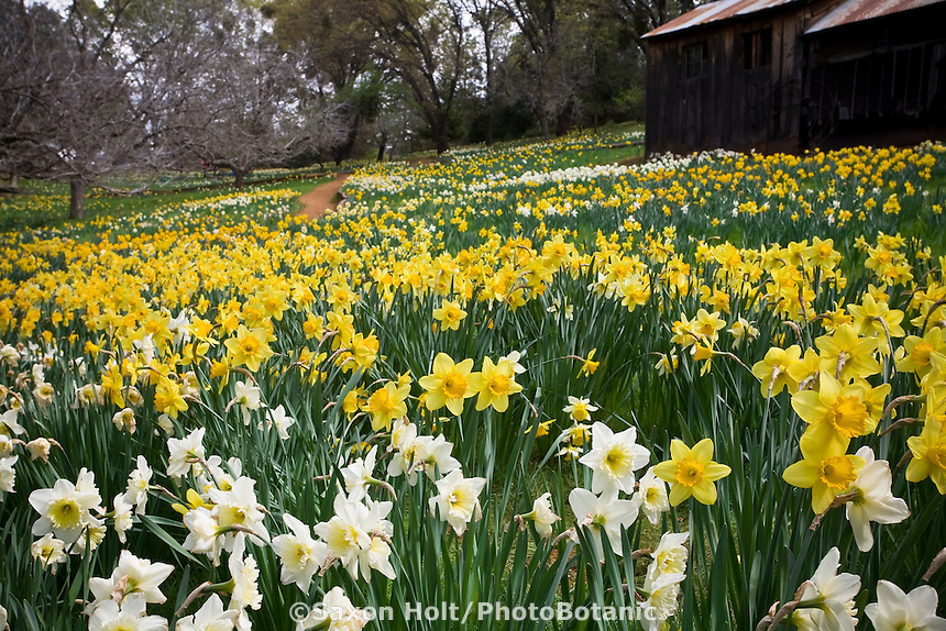Spring daffodils in field with dormant trees at Daffodil Hill, Sutter Creek California, March flower display in garden