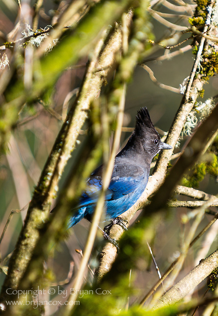 Steller's Jay, coast mountain range, Oregon