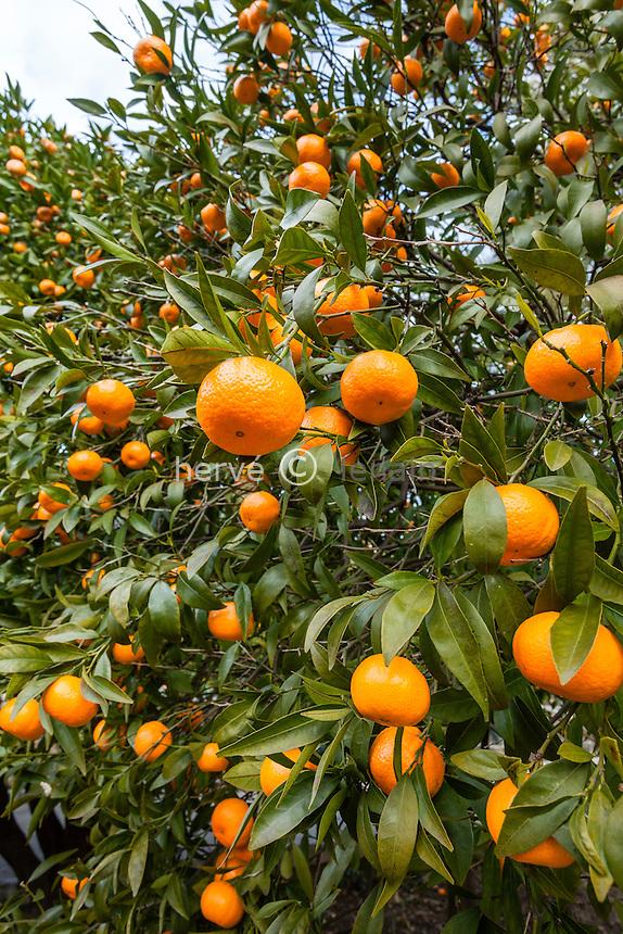 France, Alpes-Maritimes (06), Menton, la collection d'agrumes du palais Carnoles : mandarines, mandarinier, Citrus reticulata