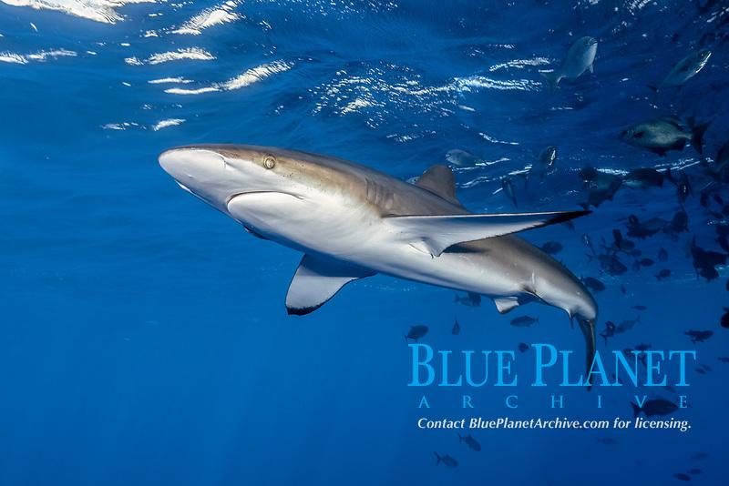 Silky Shark at San Benedicto Islands, Revillagigedos, Mexico