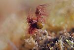 Hairy Shrimp, Neostylodactylus litoralis, Anilao, Batangas, Philippines, Amazing underwater Photography