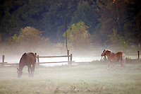 Earley morning at the paddock, a Horse while a morrow walk in dew near Leipzig south. (Photo.: Stefan Noebel-Heise)....Pferd,Horse, Morgen, Tau, morningdew, dew, Sunrise, Hengst, stellion, Paddock,Koppel, Morgendunst, mist, Nebel,Zaun, Fence, wald,Land,Wiese, Willow, Gras, Wildlive,Urban Animals, Hafer, Reiten, horseback riding,