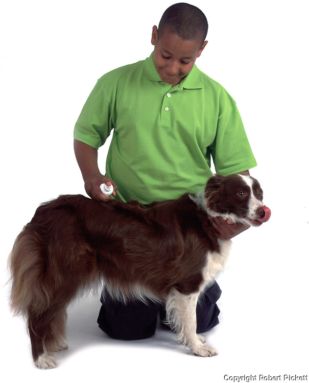 Young Boy, aged 14 years, grooming Border Collie dog, in studio, cut out, white background, brushing long haired coat, standing, pet