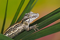 The Gargoyle gecko (Rhacodactylus auriculatus) whose habitat is threatened by deforestation is found only on the southern end of the island of New Caledonia. Captive.