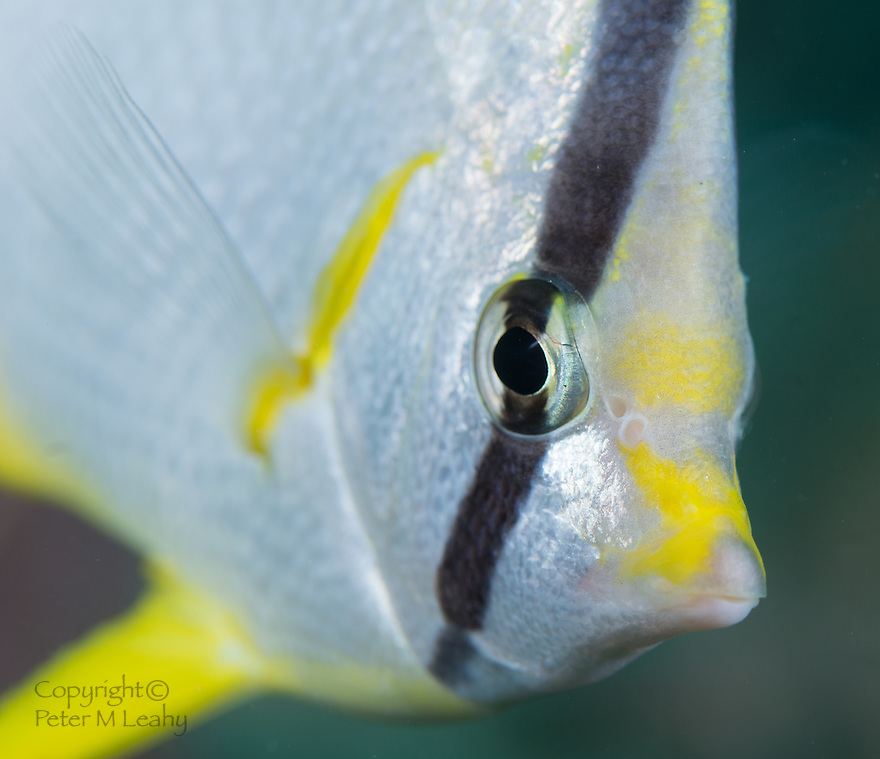Closeup of a Spotfin Butterflyfish