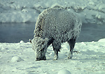 frosted bison near Firehole River