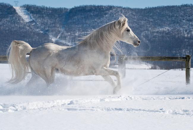 Picture of beautiful white Arabian Stallion running through new snow.