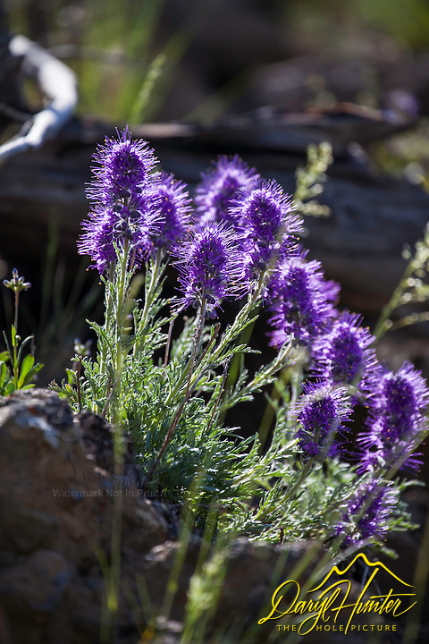 Silky Phacelia, wildflowers of Yellowstone National Park