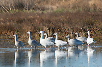 Adult and juvenile Snow Geese, Chen caerulescens, at Sacramento National Wildlife Refuge, California