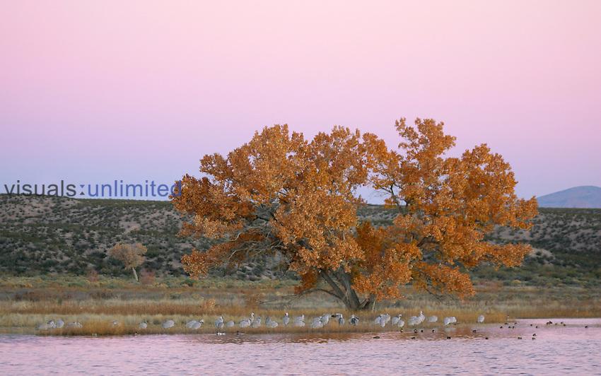 Sandhill Cranes, ducks, fall color cottonwood, Bosque Del Apache NWR, San Antonio, New Mexico.