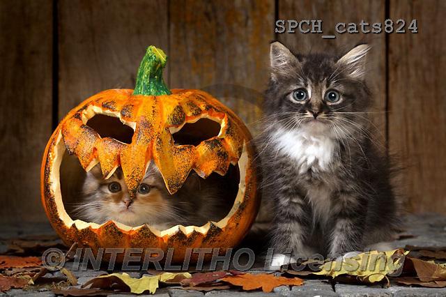 Xavier, ANIMALS, REALISTISCHE TIERE, ANIMALES REALISTICOS,halloween,cats, photos+++++,SPCHCATS824,#A#