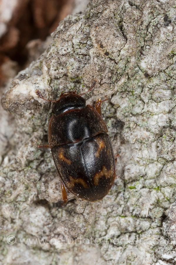 Glanzkäfer, Cryptarcha strigata, sap beetle, Nitidulidae, sap beetles