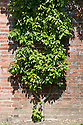 """Pear 'Beurre Superior' trained as a double (""""U"""") cordon against an old brick wall, mid June."""