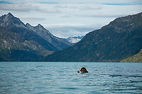 Fall landscape of grizzly bear eating salmon in Crescent Lake, Lake Clark National Park, Alaska.<br /> <br /> Photo by Jeff Schultz/SchultzPhoto.com  (C) 2018  ALL RIGHTS RESERVED<br /> <br /> 2018 Bears, Glaciers and Fall Colors Photo tour/workshop