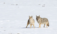 Coyotes are one of Yellowstone's common winter residents.  Here, you can see the difference in size between female and male.