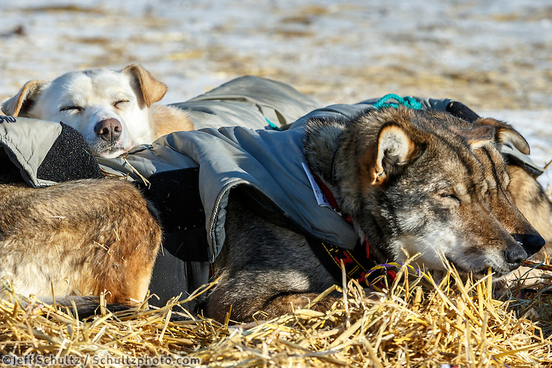 Jodi Bailey lead dog &quot;Orchid&quot; rests on &quot;Thistle&quot; and &quot;Sparroe&quot; in the afternoon at the Huslia checkpoint on Saturday  March 14, 2015 during Iditarod 2015.  <br /> <br /> (C) Jeff Schultz/SchultzPhoto.com - ALL RIGHTS RESERVED<br />  DUPLICATION  PROHIBITED  WITHOUT  PERMISSION