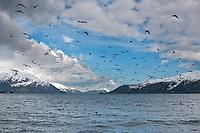 Flock of black-legged kittiwakes in Passage Canal, Prince William Sound, Alaska.