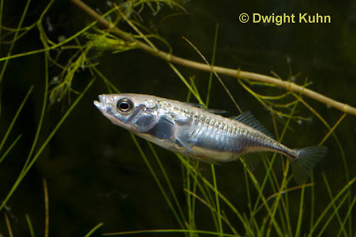 1S10-561z  Female Threespine Stickleback, female's belly distended and luminous with a load of 50-500 eggs, Marine form, Gasterosteus aculeatus