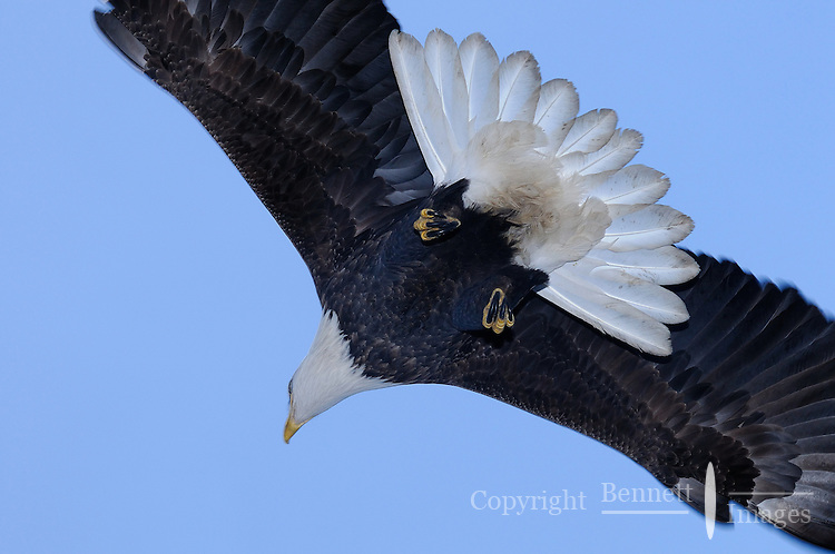 A bald eagle passes overhead at the Homer Spit in Alaska.