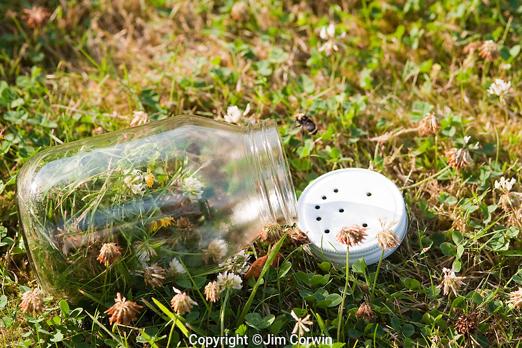 Glass Jar with trapped bumblebee being let out with jar tipped over backyard summer fun.