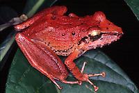 Eleutherodactylus fenestratus. sapo encontrado na AmazÙnia, Reserva Duck -  Amazonas-Brasil<br /> 03/2000<br /> ©Foto: Marcelo Gordo/ Interfoto<br /> Amazonas<br /> Foto Marcelo Gordo