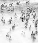Lake Natron region, Tanzania , aerial, plains zebra (Equus quagga)