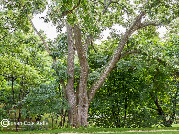 Japanese Pagoda Tree at the Arnold Arboretum in the Jamaica Plain neighborhood, Boston, Massachusetts, USA