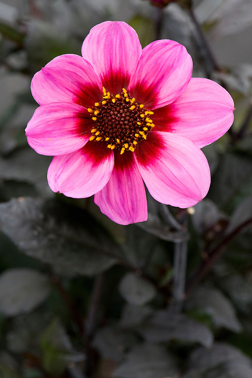 Dahlia 'Happy Single Wink', early September.