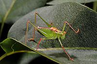 Punktierte Zartschrecke, Gewöhnliche Zartschrecke, Männchen, Leptophyes punctatissima, Speckled bush-cricket, Speckled bush cricket, male, Tettigoniidae