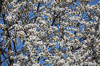 Vogel-Kirsche, Vogelkirsche, Kirsche, Süß-Kirsche, Süss-Kirsche, Süsskirsche, Süßkirsche, Wildkirsche, Wild-Kirsche, Prunus avium, Gean, Mazzard, Wild Cherry, Le merisier, cerisier des oiseaux