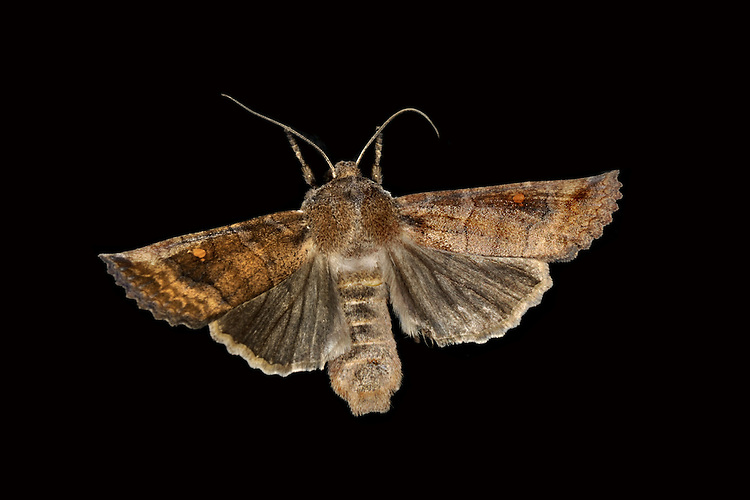 The Satellite  Eupsilia transversa Length 23-24mm. A well-named moth (if examined closely) that rests with one forewing partly overlapping the other. Adult has variably brown forewings with a prominent white or orange spot around which two smaller 'satellite' white spots orbit. Overwinters and flies October-April. Larva feeds on a range of deciduous shrubs and trees. Widespread and fairly common in southern and central Britain; more local further north.