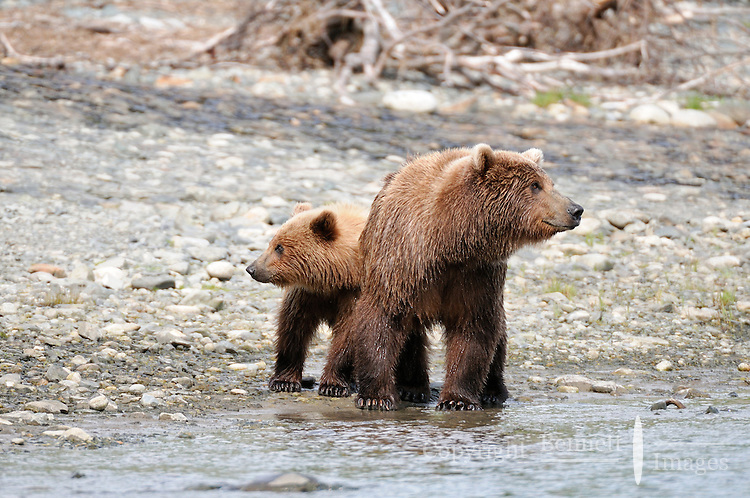 A mother brown bear looks one way while her cub looks the other in Alaska's McNeil River State Game Sanctuary.
