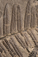 Fossil ferns. Two overlapping species. Pecopteris unita (main), and Pecopteris oreopteroides (Schlotheim), on lower right. Pennsylvanian. Locality unknown. Pecopteris was an extensive form genus of ferns that flourished in the early Carboniferous period.