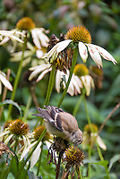 Goldfinch juvenile bird eating Echinacea purpurea seeds flower plant in garden, backyard bird attracting wildlife to the garden, bird on flower eating seeds