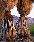 Anza-Borrego Desert State Park, CA<br /> California fan palm (Washingtonia filifera) trunks with the distant Santa Rosa mountains at dawn, 17 palms oasis