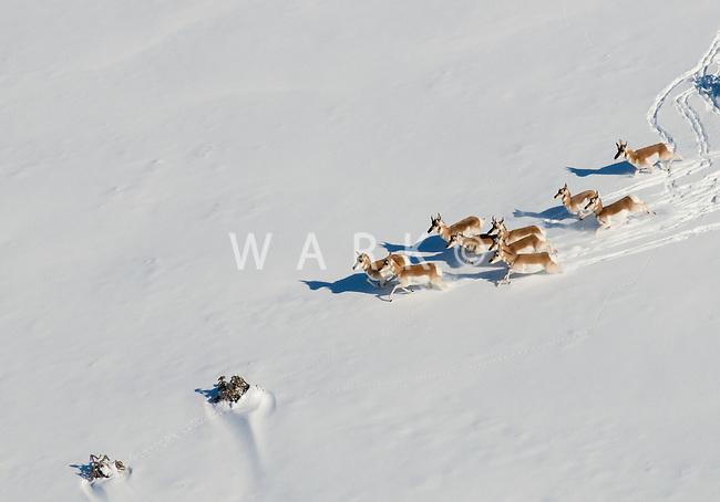 Pronghorn running in snow.  Dec 24, 2011. Pueblo County, Colorado.  (10 miles south of the city of Pueblo.