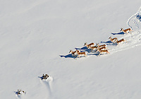 Pronghorn running in snow.  Dec 24, 2011. Pueblo County, Colorado.  (10 miles south of the city of Pueblo.