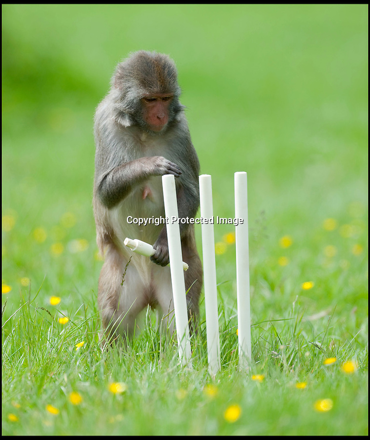 BNPS.co.uk (01202 558833)<br /> Pic: IanTurner/BNPS<br /> <br /> Stumped...<br /> <br /> Lets hope the umpiring of this summers Ashes is a little better than was displayed by the infamous Longleat monkeys yesterday as they prepared for the upcoming battle with a little bit of Ape Ashes.<br /> <br /> Despite managing to set up the stumps the perplexed primates were soon clean bowled - but at least it gave visitors to the Wiltshire attraction some respite from the usual mayhem the parks Rhesus Macaques dish out to their cars.