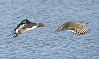 Duck - Pintail