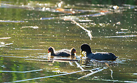 An American Coot, Fulica americana, feeds its chicks while swimming in a lake in Papago Park, part of the Phoenix Mountains Preserve near Phoenix, Arizona