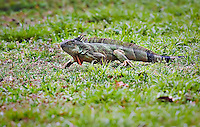 Large, invasive species Iguana in Florida wetlands
